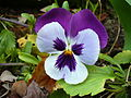Colourful Viola flowers4.jpg