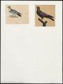 Columba domestica var. turcica - 1700-1880 - Print - Iconographia Zoologica - Special Collections University of Amsterdam - UBA01 IZ18900133.tif