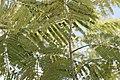 Colvillea racemosa 8zz.jpg