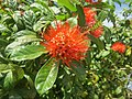Combretum constrictum - Powderpuff Combretum 2014 (3).jpg
