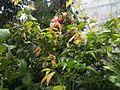 Combretum indicum NP-05.jpg
