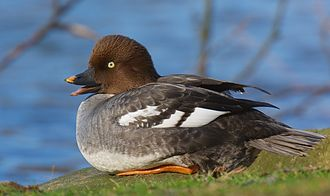 Common goldeneye - Adult female