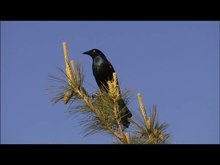 Файл:Common Grackle.ogv