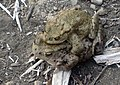 Common toad (Bufo bufo). - geograph.org.uk - 1232967.jpg
