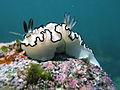 Confectionary Nudibranch-Glossodoris Atromarginata (16221373411).jpg