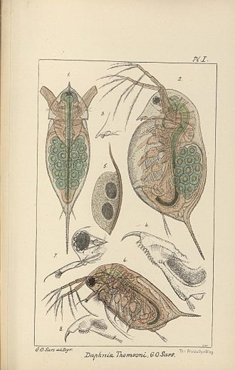 Georg Ossian Sars - Drawing made by Sars in his book Contributions to the knowledge of the fresh-water Entomostraca of New Zealand. (1894)