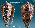 Conus abbas 2.jpg