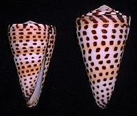 Conus litteratus.shell002