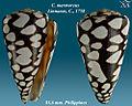 Conus marmoreus 2.jpg