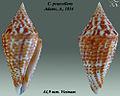 Conus praecellens 4.jpg