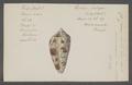 Conus textile - - Print - Iconographia Zoologica - Special Collections University of Amsterdam - UBAINV0274 085 10 0116.tif