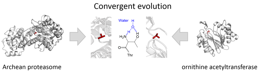 Evolutionary convergence of threonine proteases towards the same N-terminal active site organisation. Shown are the catalytic threonine of the proteasome (clan PB, family T1) and ornithine acetyltransferase (clan PE, family T5). Convergence Thr.png