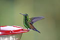 Copper-rumped Hummingbird (Amazilia tobaci).jpg