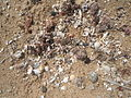 Coral fragments along molluscs at Rushikonda beach 01.JPG