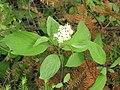 Cornus sericea ssp sericea 3-eheep (5098092826).jpg