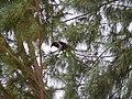 Corvus albus 0007.jpg