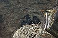Corvus corax -Donegal -Ireland -chicks-8a.jpg