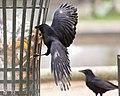 Corvus corone litter bin Tuileries 2017-12-30.jpg