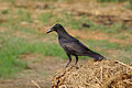 Corvus macrorhynchos Jungle Crow IMG 6333.jpg