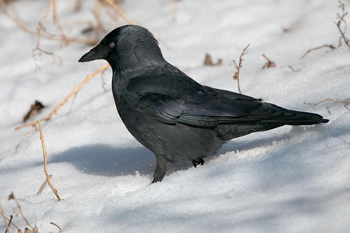 Vogel Wiki