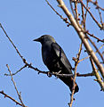 Corvus monedula 4.jpg
