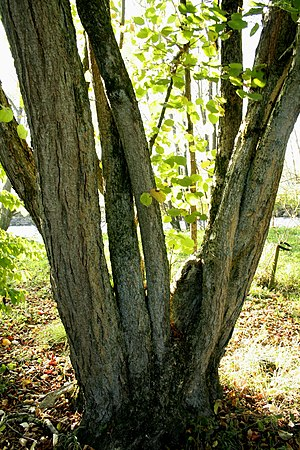 Corylus chinensis - Image: Corylus chinensis JPG1c