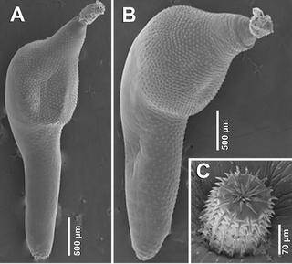 <i>Corynosoma australe</i> species of worm