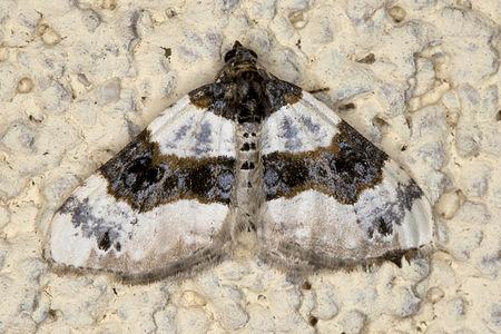 Cosmorhoe ocellata, Lodz(Poland)01(js).jpg