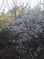 Cotinus coggygria в ноябре.jpg