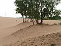 Cottonwood clumps holding sand P6220064.JPG