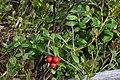 Cowberry (Vaccinium vitis-idaea) - Oslo, Norway 2020-08-30 (01).jpg
