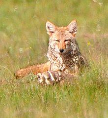 Coyote 26 Badger Valles Caldera Cardi