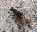 Crabronidae. Square-headed Wasp, Liris species, with cricket (38361379521).jpg