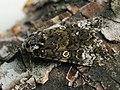 Craniophora ligustri - The Coronet - Совка бирючинная (43840582982).jpg
