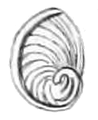 Cremnoconchus syhadrensis operculum 2.png