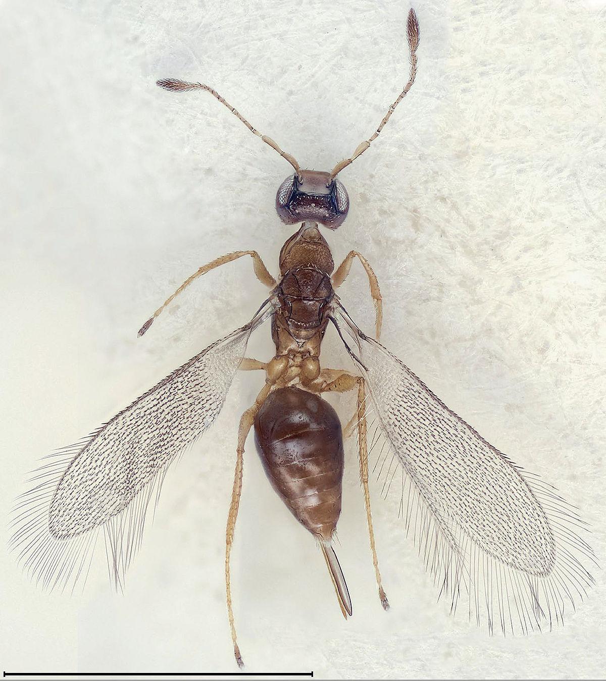 das kleinste insekt der welt