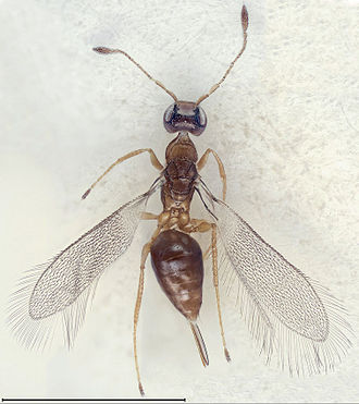 Fairyfly - Cremnomymar sp. (female) exhibiting the usual macropterous and flat wings of fairyflies. Scale bar = 1000 μm