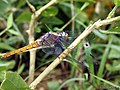 Crimson tailed marsh hawk (Orthetrum pruinosum) Female (21678314725).jpg