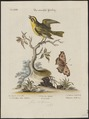 Crithagra butyracea - 1700-1880 - Print - Iconographia Zoologica - Special Collections University of Amsterdam - UBA01 IZ16000321.tif
