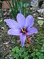 Crocus sativus3.jpg