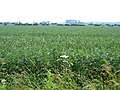 Crop of field beans from Ely Way, Haddenham, Cambs - geograph.org.uk - 231436.jpg