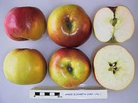 Cross section of Annie Elizabeth, National Fruit Collection (acc. 1957-175).jpg