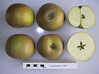 Cross section of Brownlees Russet, National Fruit Collection (acc. 1957-179).jpg