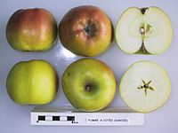 Cross section of Pomme a Cotes (Savoie), National Fruit Collection (acc. 1948-296).jpg