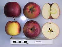 Cross section of Redgold, National Fruit Collection (acc. 1951-025).jpg