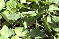 Cryptotaenia japonica 0zz.jpg