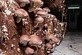 Cultivo tradicional de shiitake en Pradejón.jpg