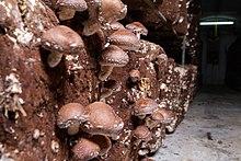 Fungiculture - Wikipedia