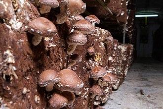 Fungiculture - Cultivated shiitake mushrooms