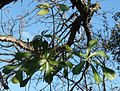 Cussonia thyrsiflora, in tuin, Waterberg.jpg